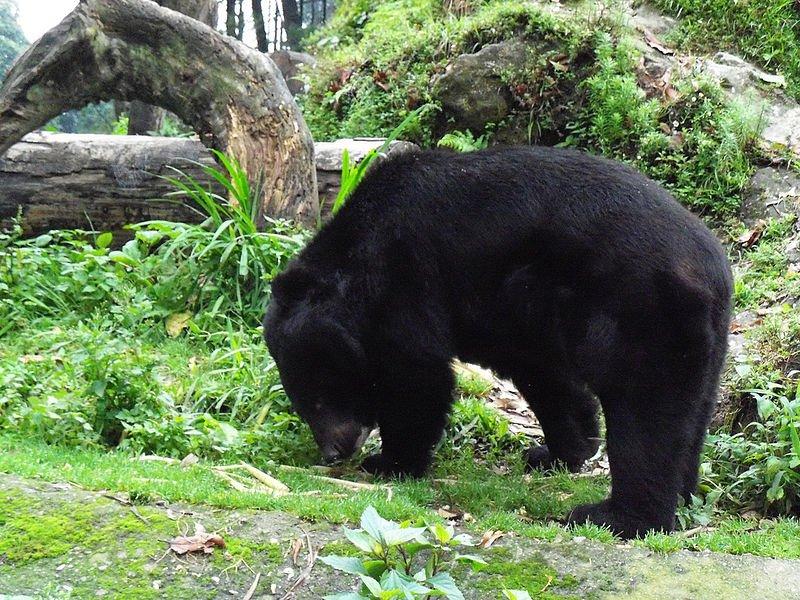 800px-Asian_black_bear_in_Darjeeling_Zoo